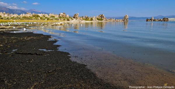Essaims de mouches Ephydra hians (éléments noirs sur la plage et dans l'eau) sur les rives et dans les eaux du lac Mono