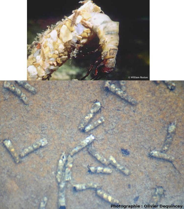 Larves de phryganes vivantes dans leur fourreau