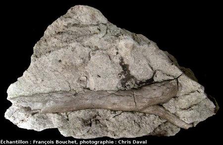 Branche d'arbre fossile (3cm de diamètre), Mine des Rois, Dallet