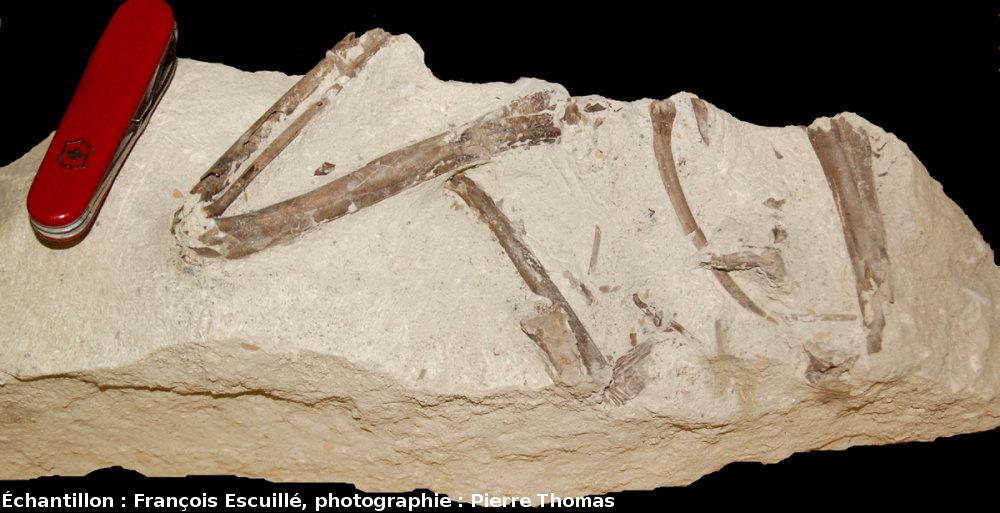 Os de l'aile d'un oiseau (Paleolodus) en connexion, accompagnés d'une côte et d'autres fragments osseux, Mine des Rois, Dallet