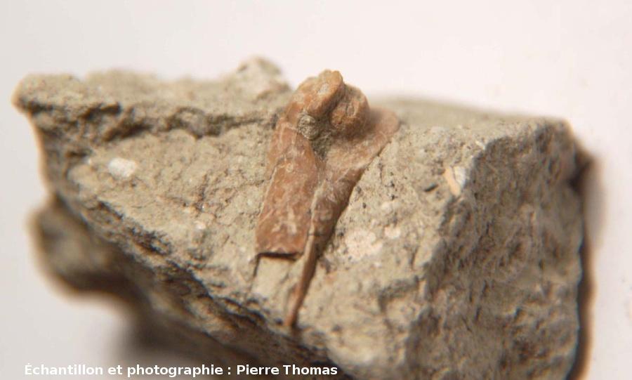Articulation à la terminaison d'un os long d'un membre (humérus) d'un petit artiodactyle, Mine des Rois, Dallet