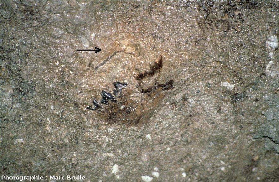 Fossiles de vertébrés, Mine des Rois, Dallet