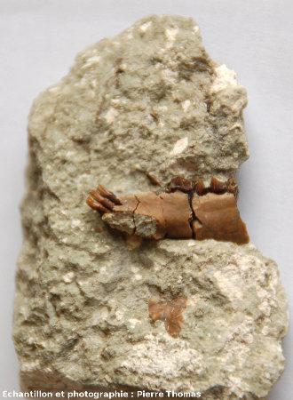 Gros plan sur l'extrémité de la mâchoire et sur les incisives d'un Caïnotherium, Mine des Rois, Dallet