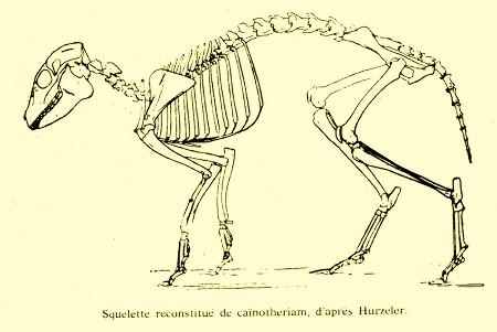 Squelette reconstitué de Caïnotherium, animal de la taille d'un lapin, mais proche des cochons