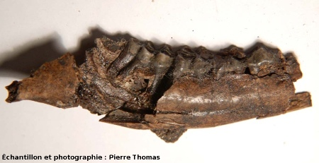 Mâchoire (8cm de long) et dentition d'un herbivore artiodactyle classiquement appelé Dremotherium, Mine des Rois, Dallet