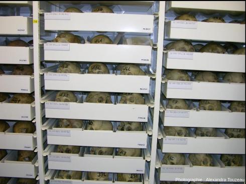 Collection de crânes égyptiens du CCEC