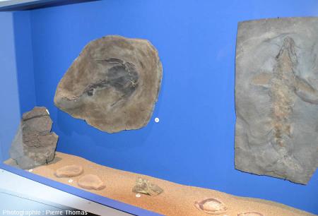 Quelques fossiles du Paléozoïque inférieur exposés à Paléopolis