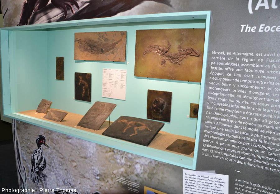 Certains gisements clés dans l'histoire de l'Évolution sont mis en valeur, comme le fameux gisement éocène de Messel (Allemagne)