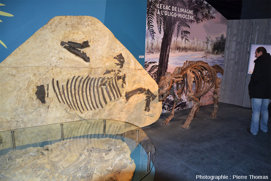 Comme nous sommes à Gannat, dans l'Oligo-Miocène de Limagne, les vertébrés fossiles de l'Allier, mais aussi les végétaux locaux de cette époque sont particulièrement bien représentés