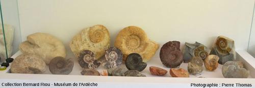 Exemple d'une vitrine de fossiles non exclusivement locaux, la vitrine des ammonites du Muséum de l'Ardèche