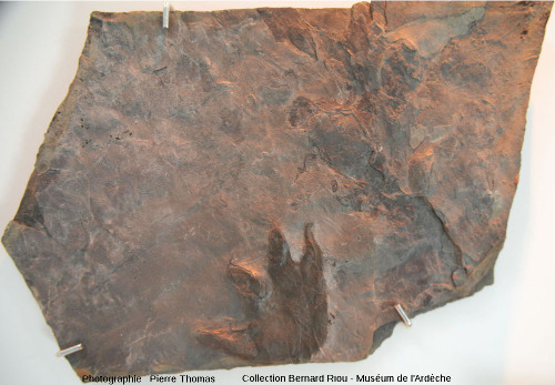 Contre-empreinte d'une trace de reptile (6cm), bassin permien de Largentière (Ardèche)
