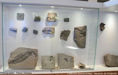 Vue globale sur la vitrine des poulpes et calmars de La Voulte-Rompon, Muséum de l'Ardèche