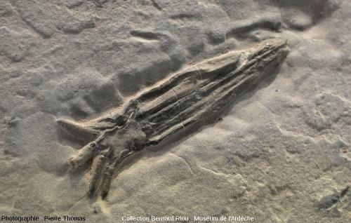 Fossile de Calmar, mollusque céphalopode décapode (6cm)
