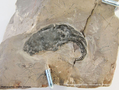 Fossile de poulpe, mollusque céphalopode octopode (8cm)
