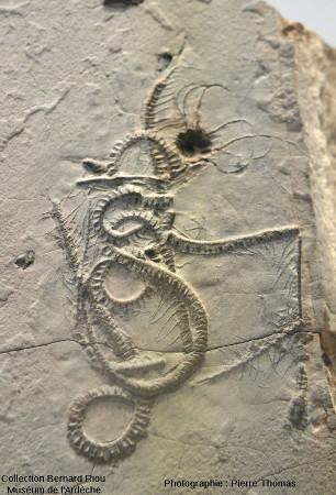 Gros plan sur la comatule (échinoderme de la classe des crinoïdes) de la dalle à poulpe et comatule