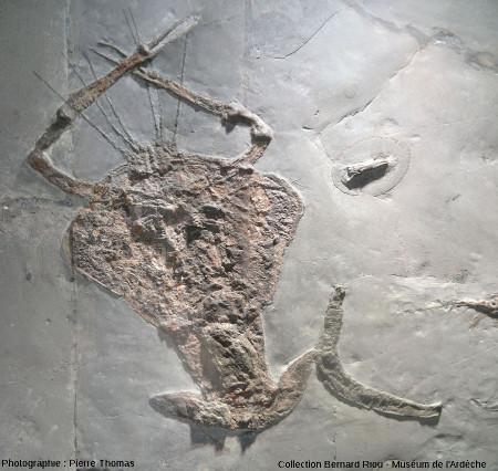 Un crustacé, Cyclerion giganteus (25cm)