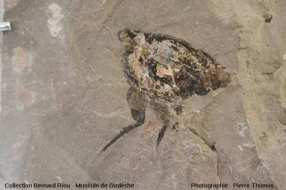 Exemple de thylacocéphale, groupe d'arthropodes éteint, sans doute voisin des crustacés (4cm)