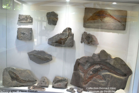 """Vue globale de la vitrine des """"poissons"""" du gisement de La Voulte-Rompon, Muséum de l'Ardèche"""