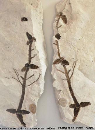 Empreinte et contre-empreinte de deux rameaux indéterminés (65cm)