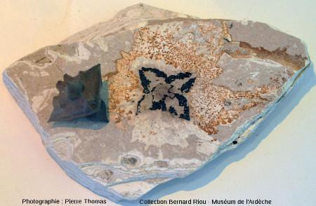 Fossile de châtaigne d'eau (Trapa sp.)