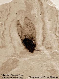 Fossile d'insecte appartenant vraisemblablement à la famille des Cicadidae (cigales)