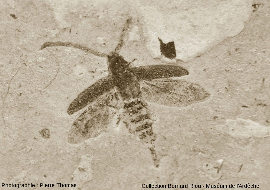 Fossile d'insecte