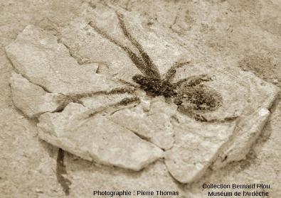 Fossile d'araignée