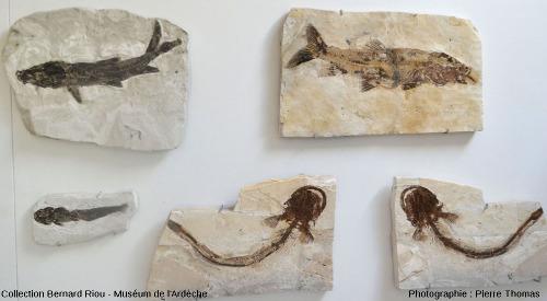 Partie supérieure droite de la vitrine des poissons (1,40m de gauche à droite) de la montagne d'Andance, Muséum de l'Ardèche