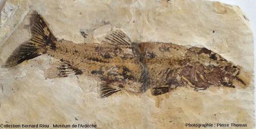 Barbus sp. (50cm) avec une colonne vertébrale de petit poisson dépassant de la bouche