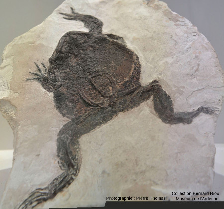 Fossile d'un amphibien, Bufonidae (crapaud) probable