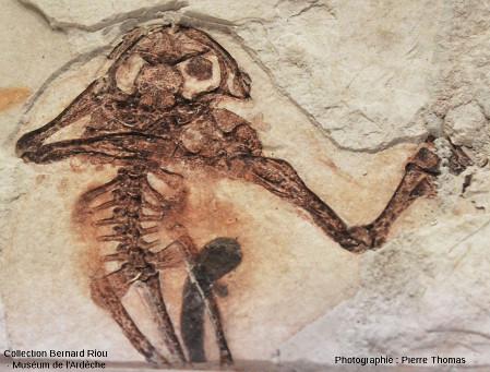 Détail du squelette d'un autre amphibien, probablement du groupe des Ranidae (grenouille)