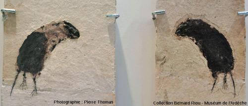 Empreinte et contre-empreinte de Parapodemus lugdnensis, mulot du Miocène supérieur