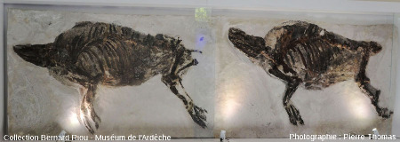 Deux exemples de Microstonyx major, suidé voisin des sangliers actuels