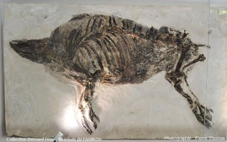 Vue globale du Microstonyx major de gauche, suidé voisin des sangliers actuels