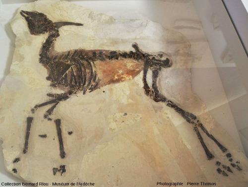 Un ongulé, voisin des antilopes actuelles