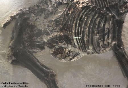 Détail du fœtus porté par cette jument (Hipparion mediterraneum)