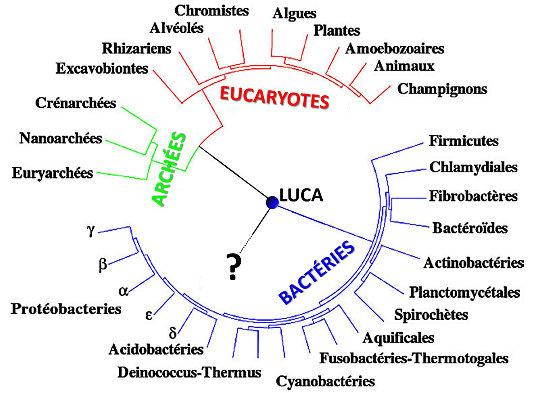 Arbre phylogénétique synthétique de la vie