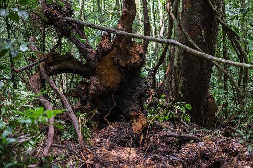Le destin des arbres est de mourir, comme cet arbre de la forêt guyanaise