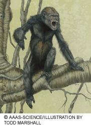 Représentation de Pierolapithecus catalaunicus