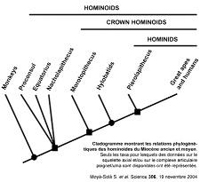 Cladogramme montrant les relations phylogénétiques des hominoïdes du Miocène ancien et moyen