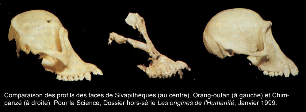 Comparaison des profils des faces de Sivathèques (au centre), Orang-outan (à gauche) et Chimpanzé (à droite)