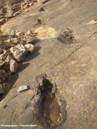 Course de théropode (proche du vélociraptor)