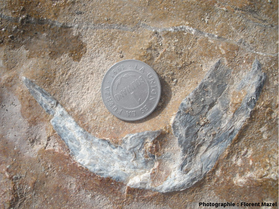 Griffe de carnivore (proche du Velociraptor)