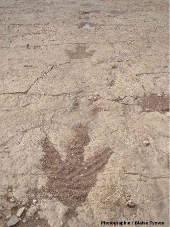 Empreinte de marche d'un théropode