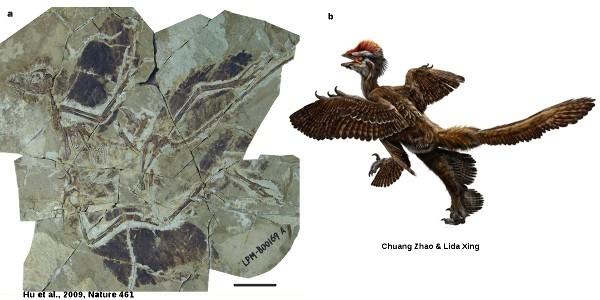 Le fossile d'Anchiornis huxleyi et sa reconstitution proposée en octobre 2009