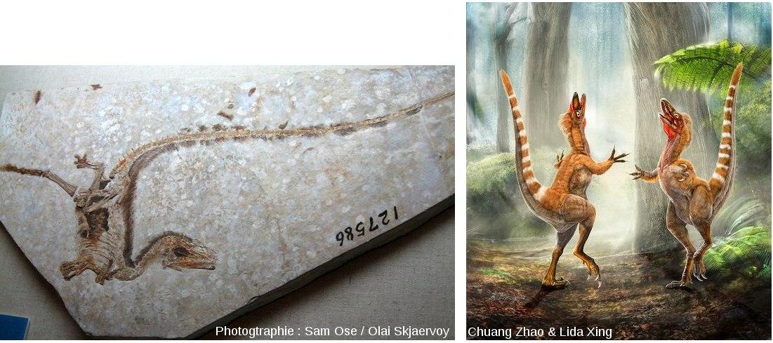 Le théropode à «fourrure» de plumes, Sinosauropteryx