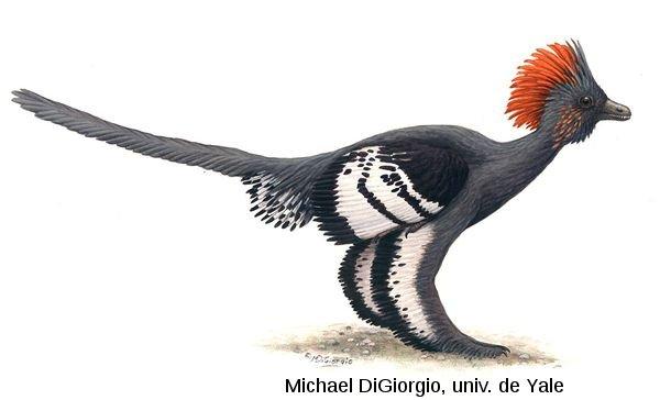 Le nouvel aspect du Troodontidé Anchiornis, tel que proposé par Li et al. [5]