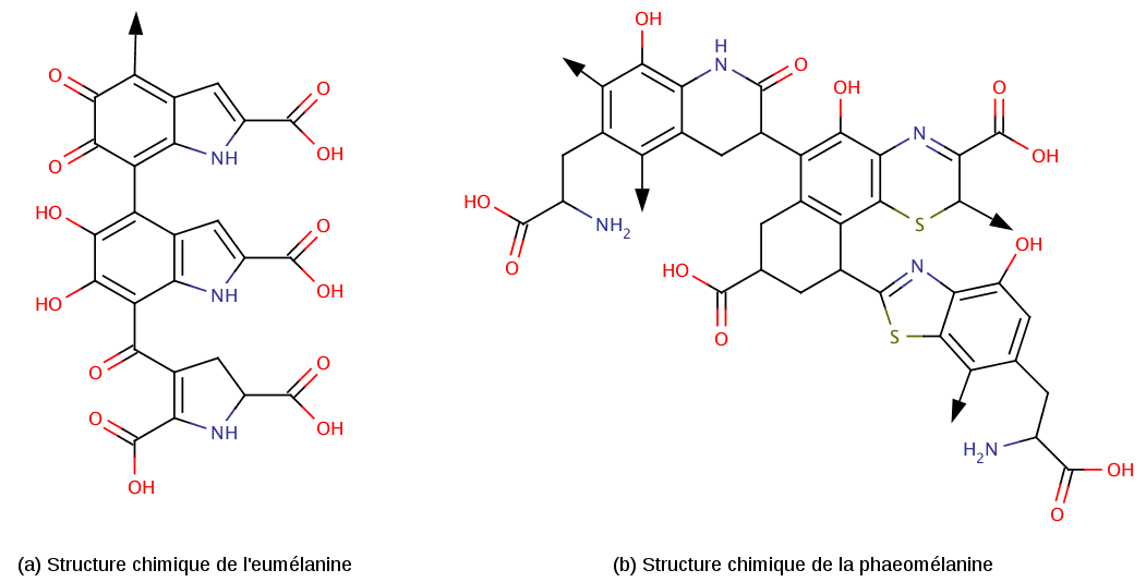 Structures moléculaires des deux principaux types de mélanine