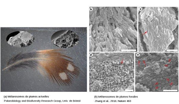 Mélanosomes de plumes actuelles et observations sur les fossiles