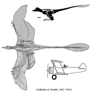 La position de vol plané en « biplan » de Microraptor gui, proposée par S. Chatterjee et R. J. Templin [8]